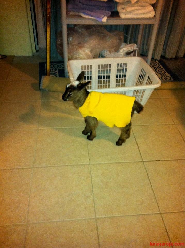 Cría de cabra con jersey amarillo